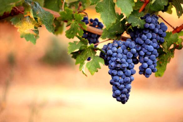 9 vitigni ad alta resistenza alle malattie sono stati iscritti nel registro dell'emilia romagna