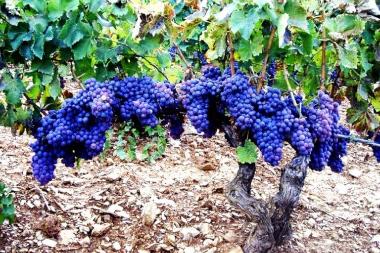 Sostegno economico e rafforzamento della promozione le richieste del vino sardo alla Regione.