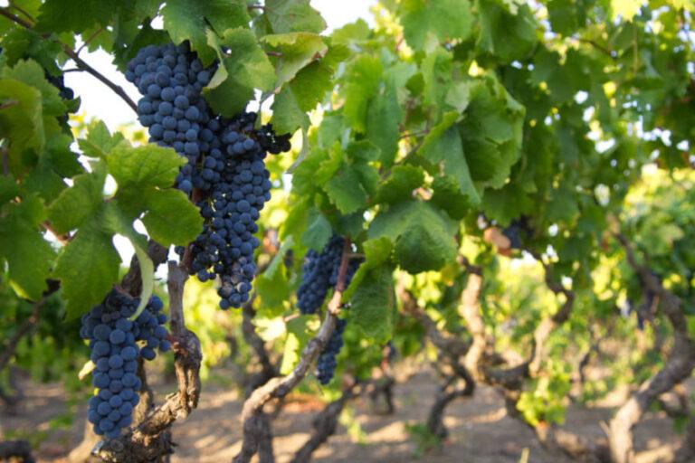 La Regione Puglia decreta il blocco di nuove rivendicazioni della denominazione tarantina per i prossimi tre anni.
