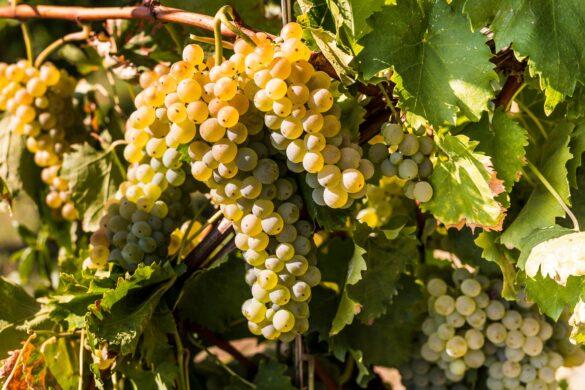 Grazie a un accordo tra tutti gli attori, uno dei vitigni simbolo della regione sarà l'unica versione varietale ammessa dal disciplinare di produzione.