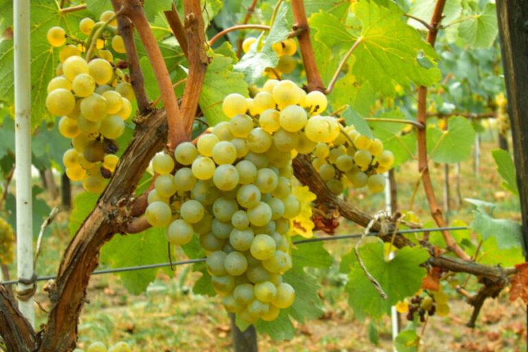 Una buona annata per i vini bianchi, soprattutto per il Grillo, e per i rossi. Un lieve calo di produzione per il Nero d'Avola.