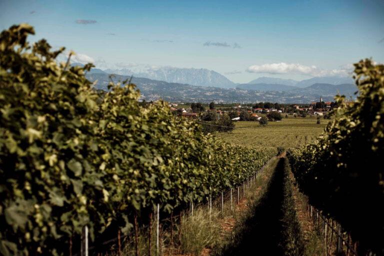 Vendemmia positiva per i Colli Berici e Vicenza, tensione per l'export. Ce ne parla il direttore del Consorzio di tutela Giovanni Ponchia.