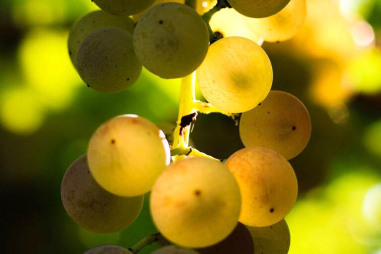 Verrà presentato il 5 settembre Soave Terroir, il libro edito dal Consorzio Tutela Vino Soave che raccoglie 20 anni di studi sulle Unità Geografiche Aggiuntive.