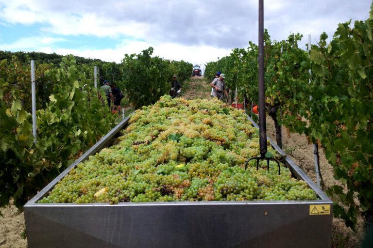 Parte oggi la vendemmia della Vernaccia di San Gimignano, che grazie ad un'uva che si annuncia di qualità punta a recuperare le quote di mercato perse a causa della pandemia.