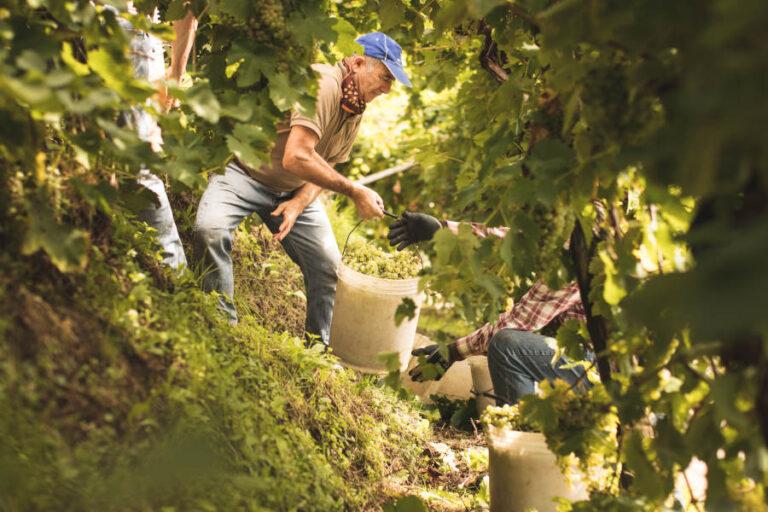 Al termine di una stagione segnata dalle piogge il Consorzio giudica positivamente la qualità delle uve di glera destinate alla produzione del suo Prosecco Docg.