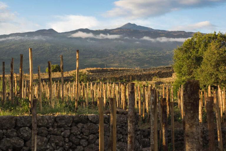 La composita raccolta sui quattro versanti dell'Etna è appena giunta al termine. Positivi i primi riscontri: uve sane, mature ed equilibrate.