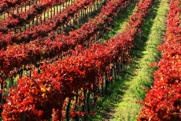 Ottime prospettive per i rossi, di ottima struttura e personalità, e per i bianchi, equilibrati e freschi, mentre le colline si colorano con il foliage del Sagrantino.